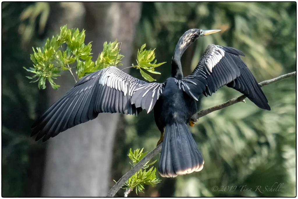 ANHINGA WITH SPREAD WINGS