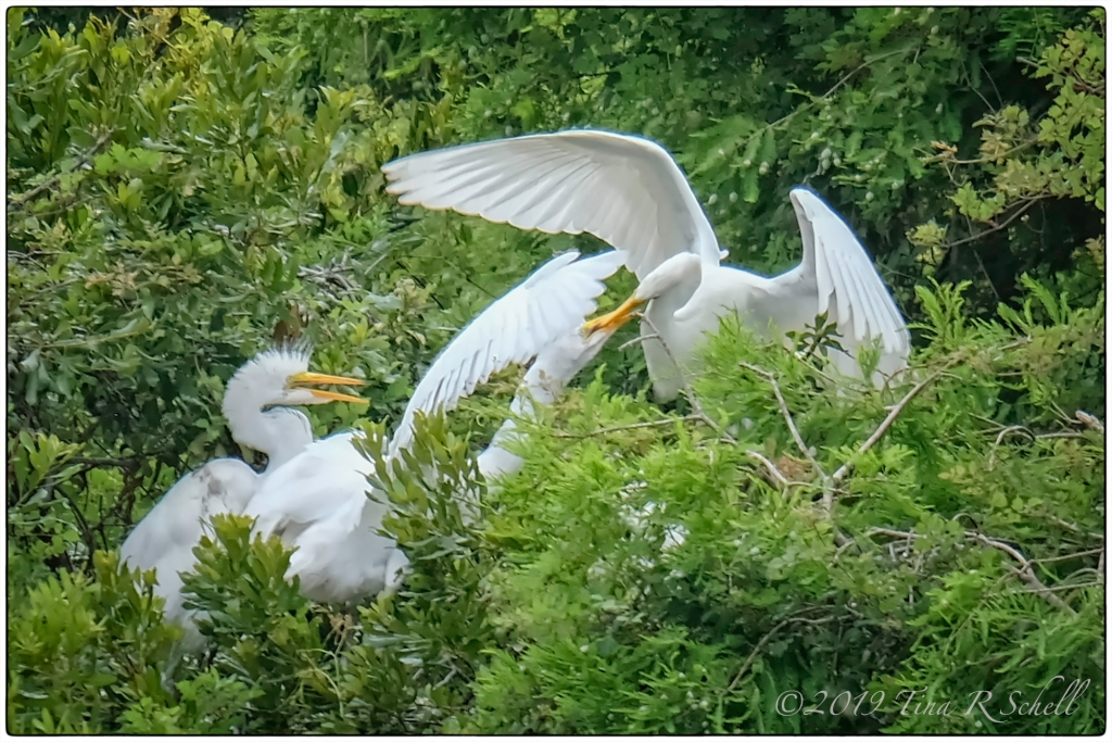 egret parent feeding juveniles