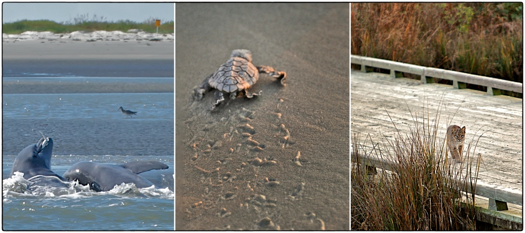 tryptic of bobcat, turtle, dolphin on kiawah