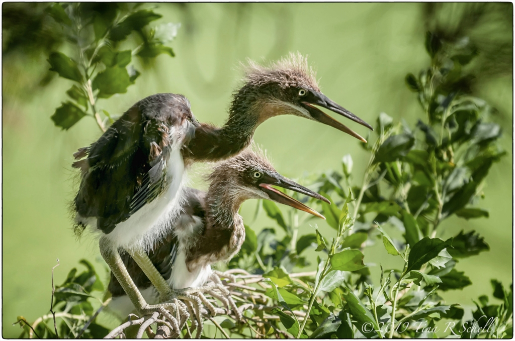 Heron Chicks