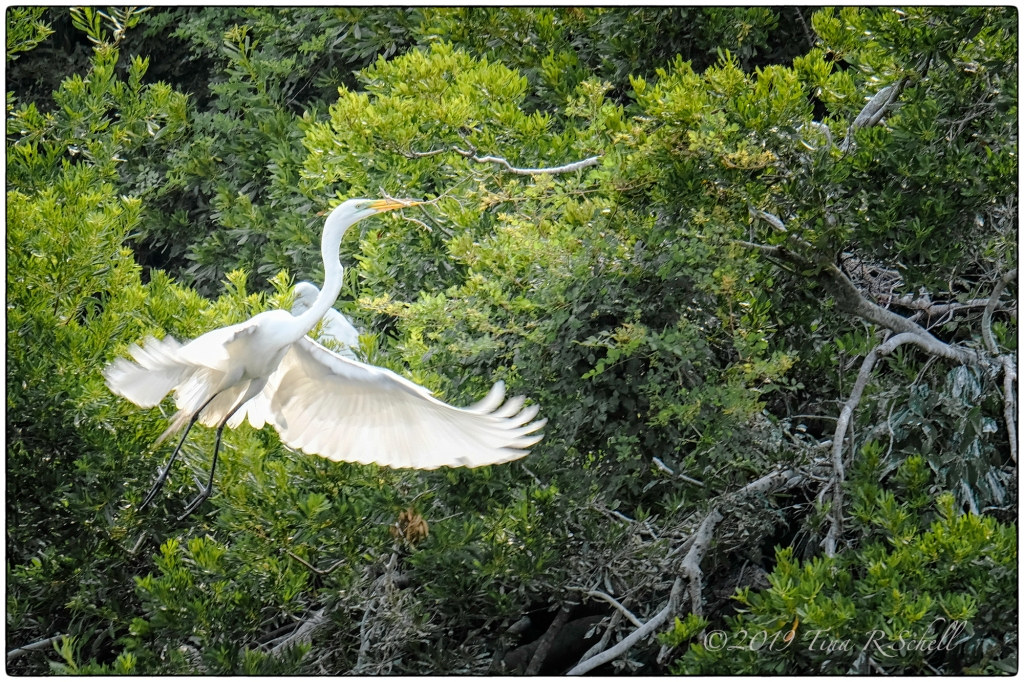 flying egret with branch