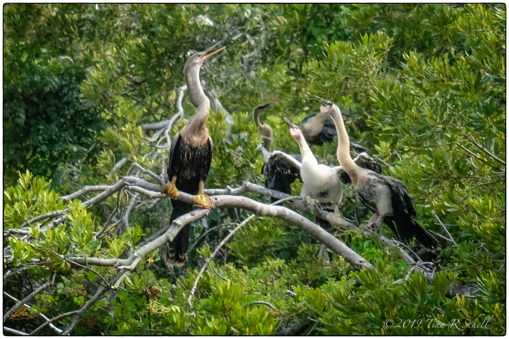 anhinga chicks and parent