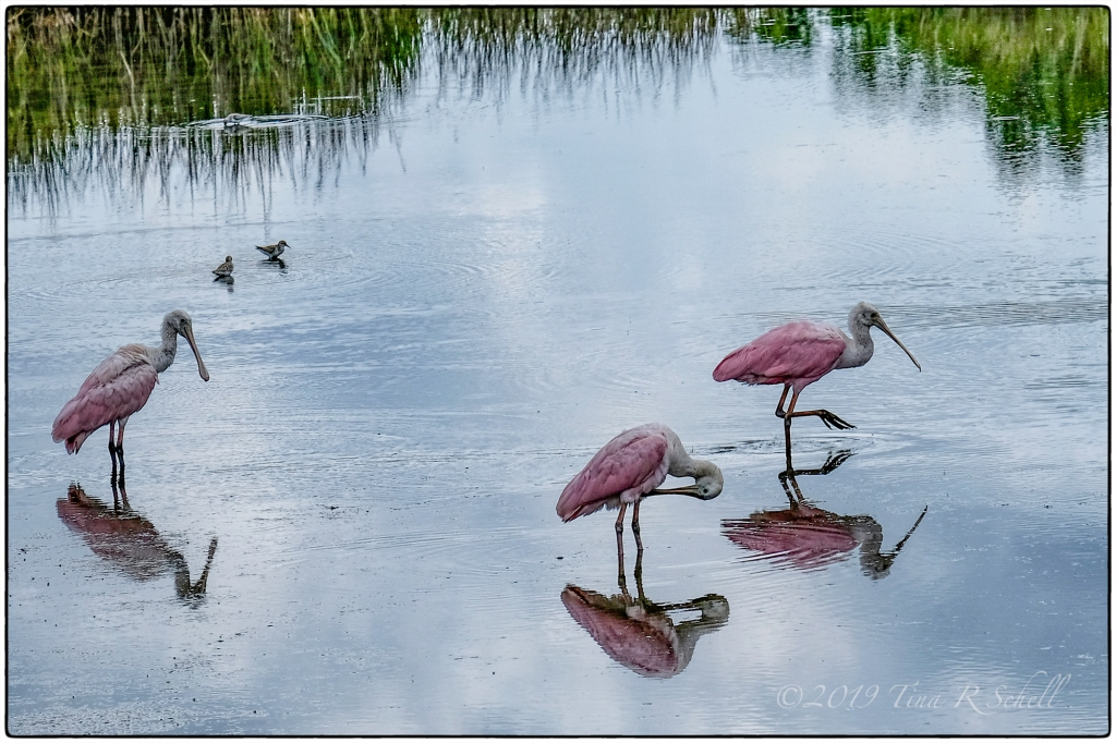 roseate spoonbills in a pond