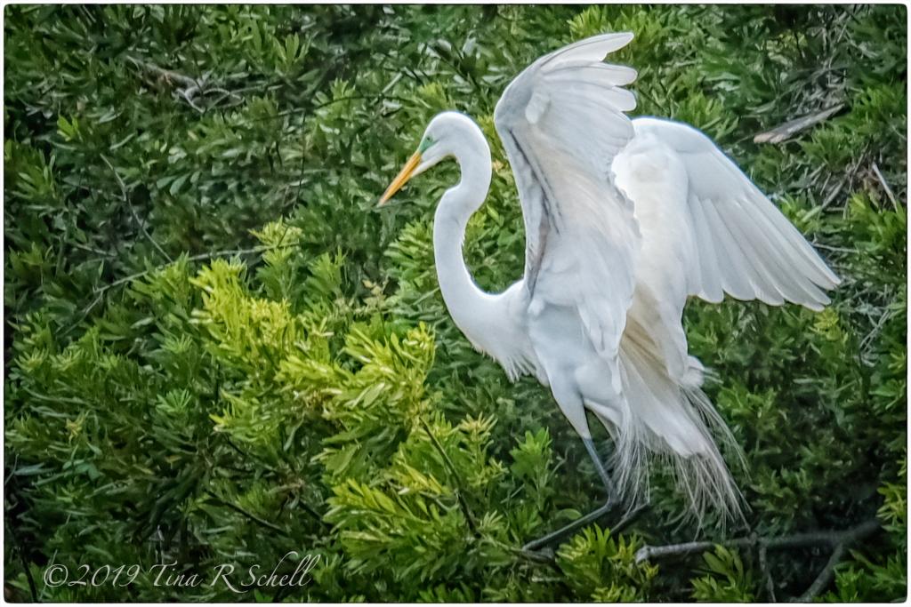 egret landin in bushes