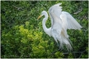egret landin in bushes