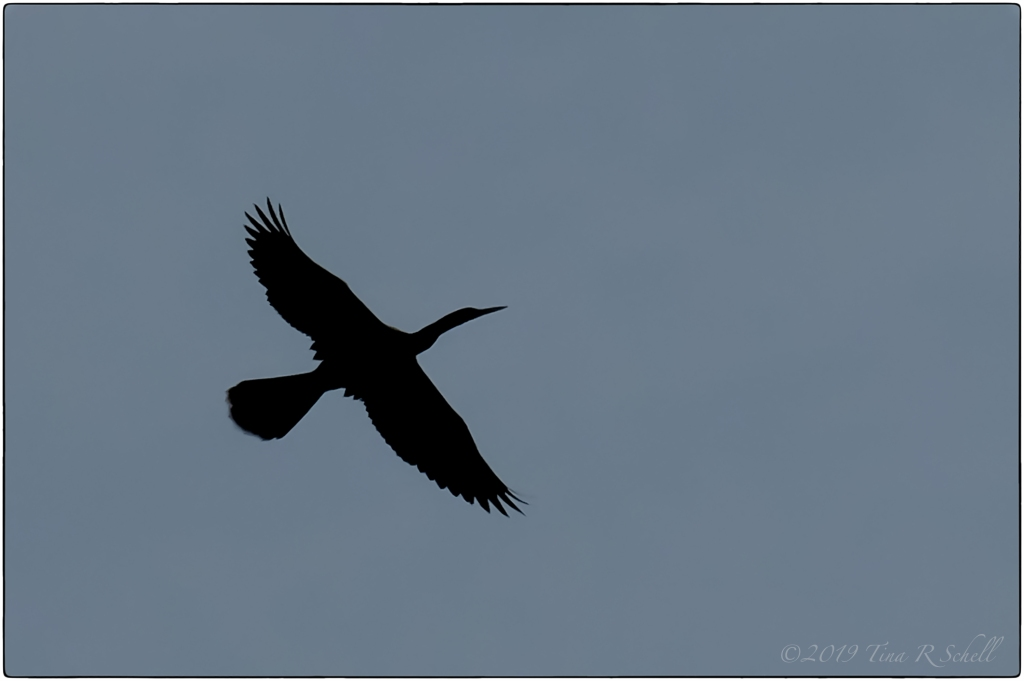 silhouette of CORMORANT IN FLIGHT