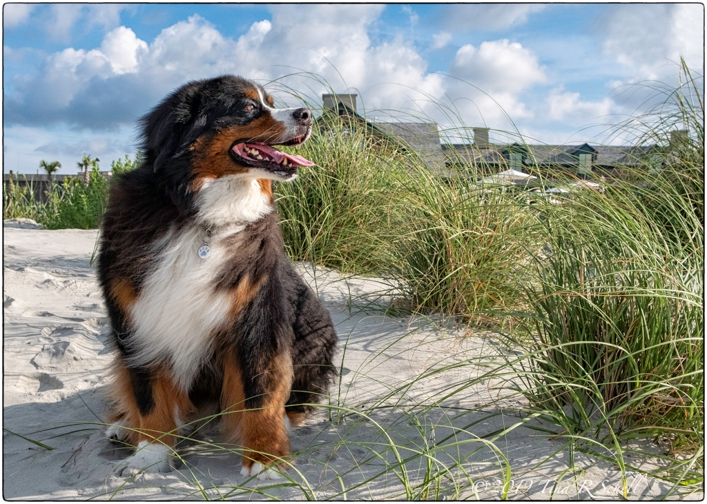 Bernese Mountain Dog, beach
