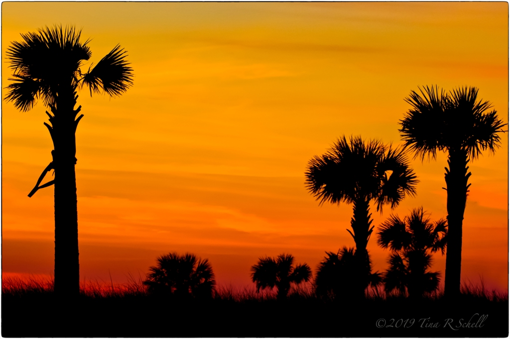Palmetto trees, silhouette, sunset, orange