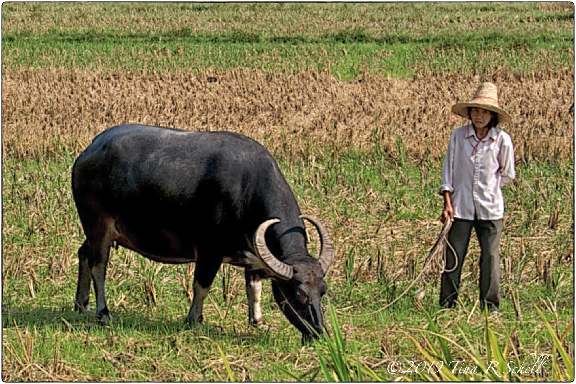 asian woman with ox on a leash