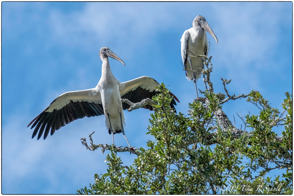 wood storks with spread wings