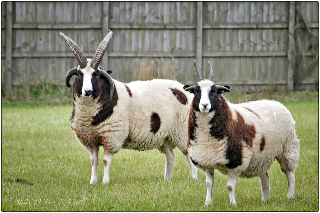 two-colored sheep