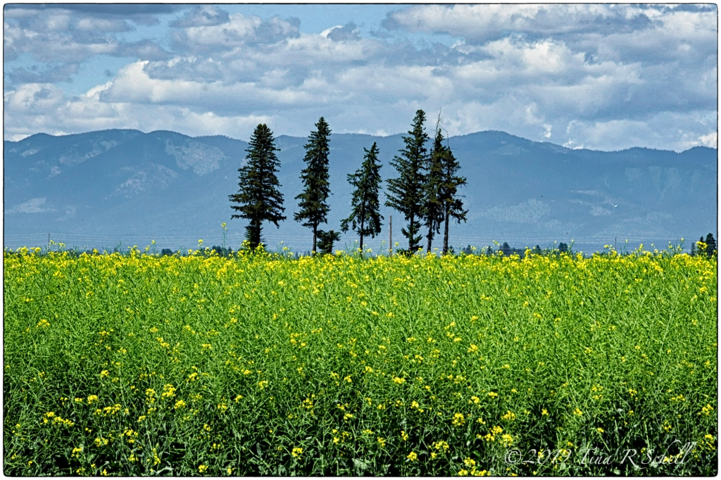 fir trees, canola field
