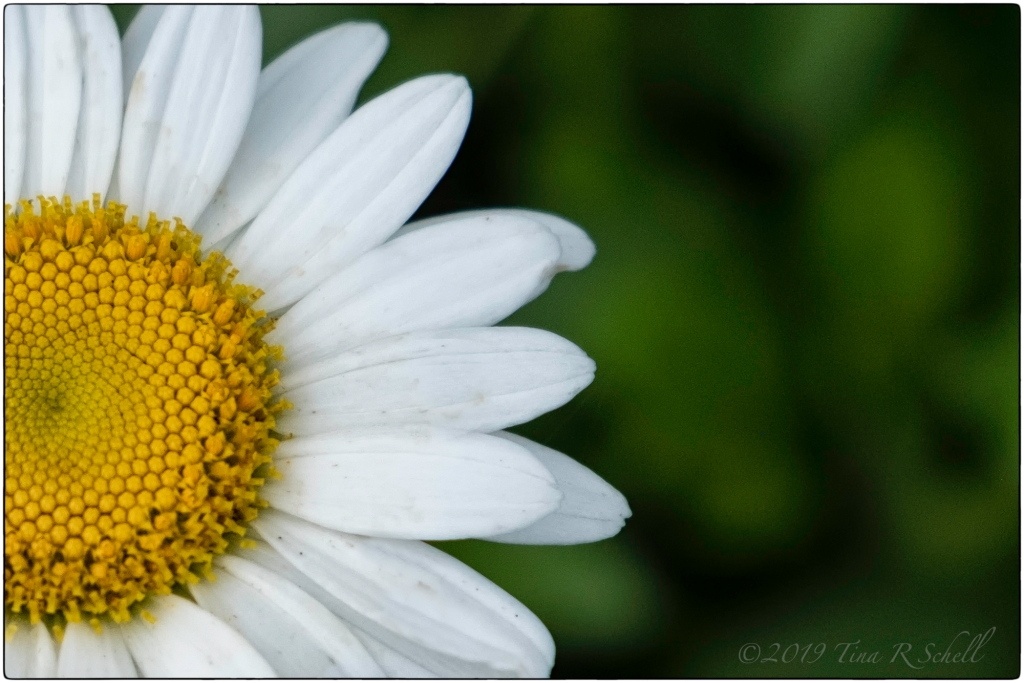 partial daisy on green background