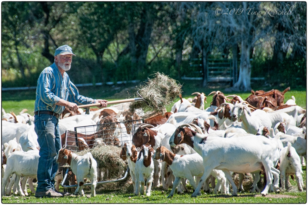 farmer feeding goats