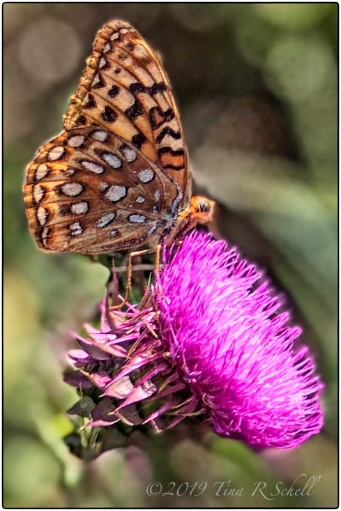 butterfly on pink thistle