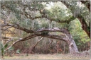 Live oak, forest