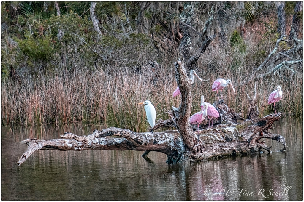 SPOONBILLS, LOG, WATER