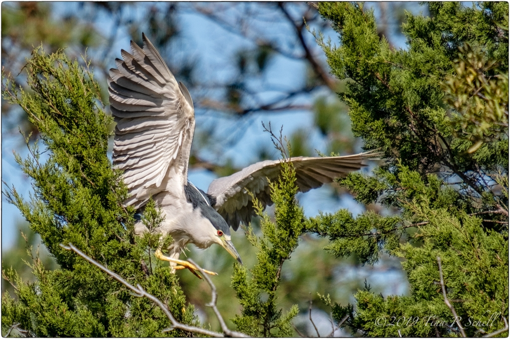 NIGHT HERON ON THE WING