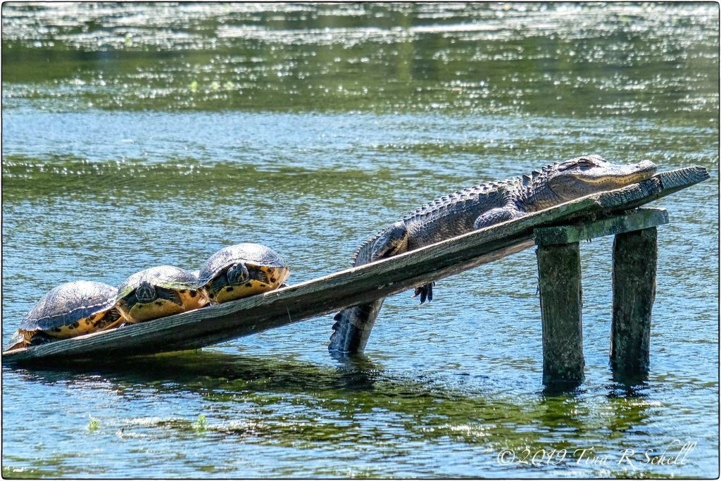 alligator, turtles