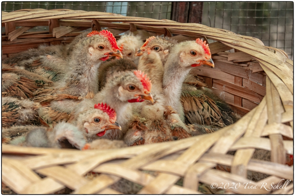 chickens in a basket
