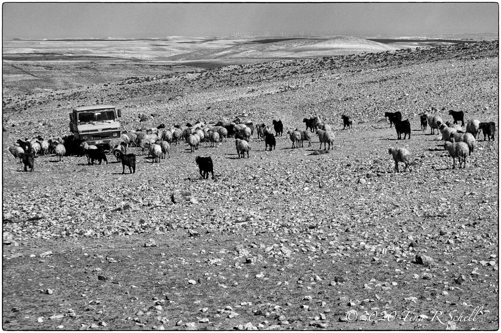 barren landscape, sheep, truck