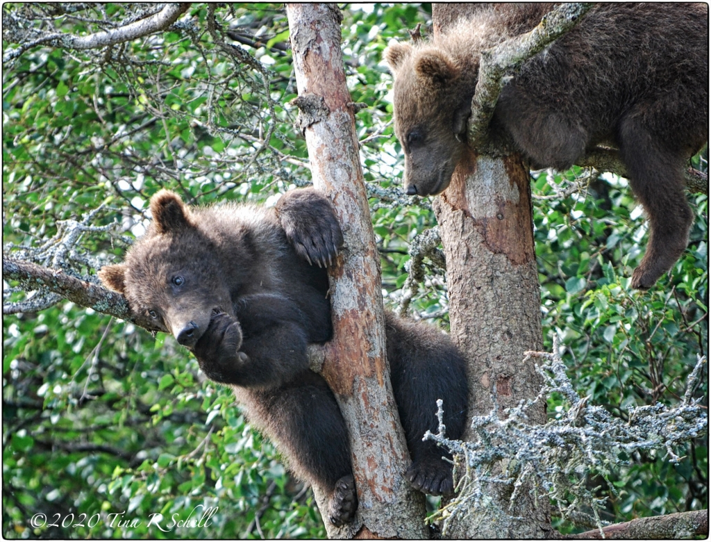 bear cub, thumb sucking