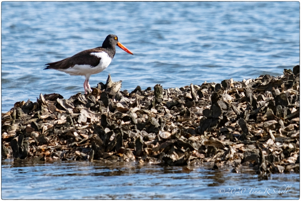OYSTERCATCHER, OYSTER BED