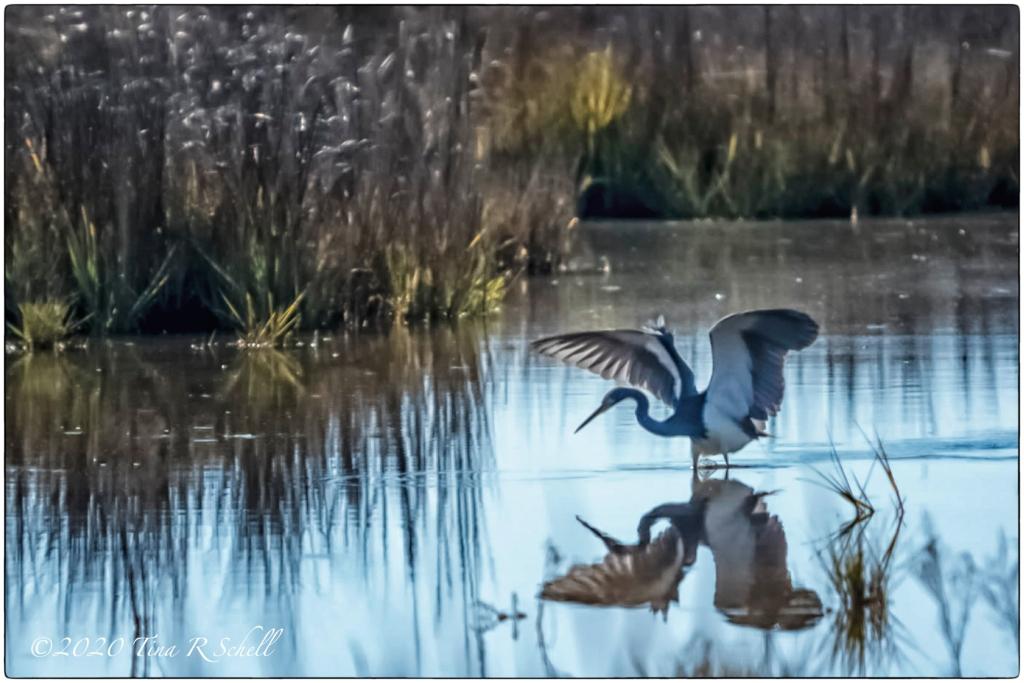 great blue heron, spread wings, marsh, Kiawah