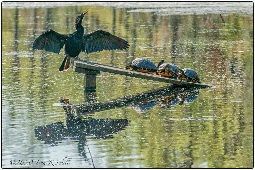 cormorant, turtles, perch