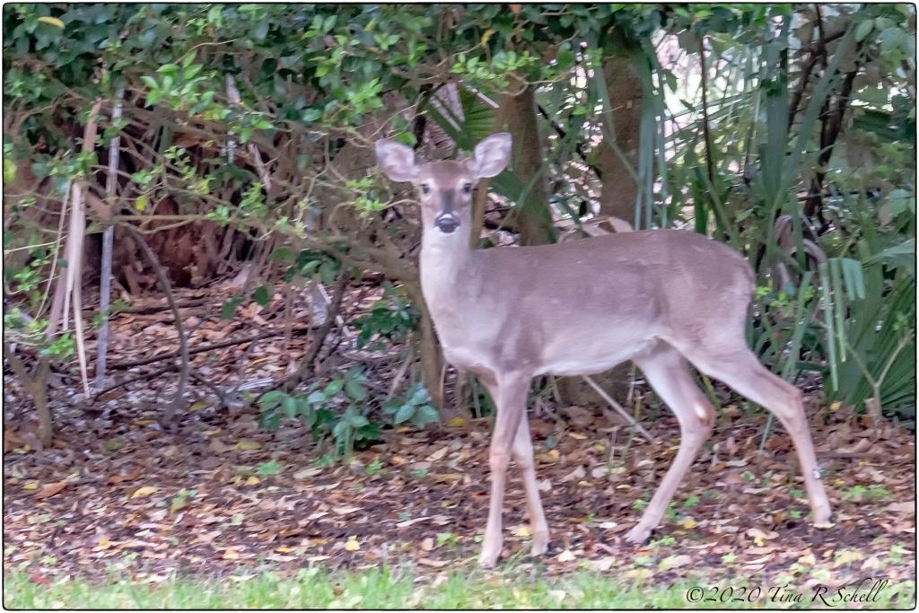deer, woods