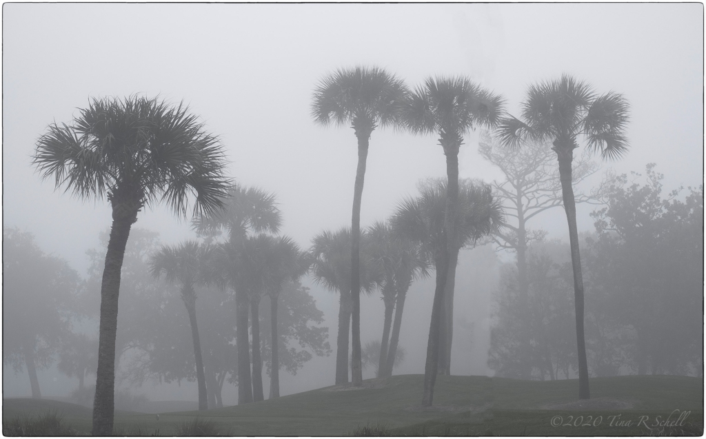 palmetto trees, fog