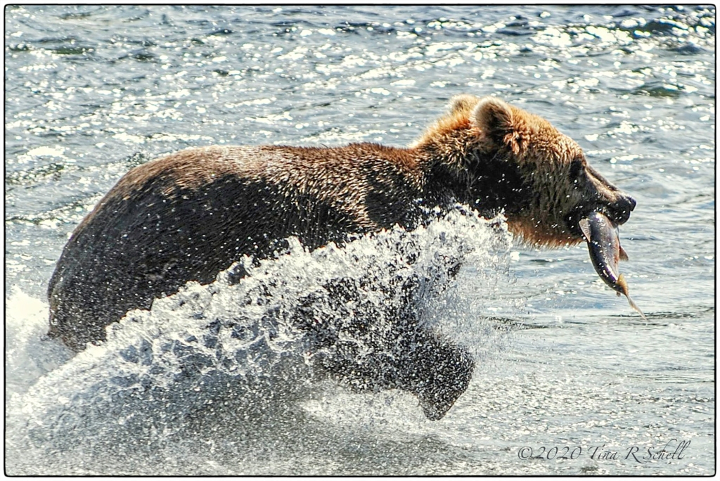 bear with fish, water