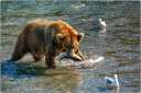 grizzly bear, water, salmon