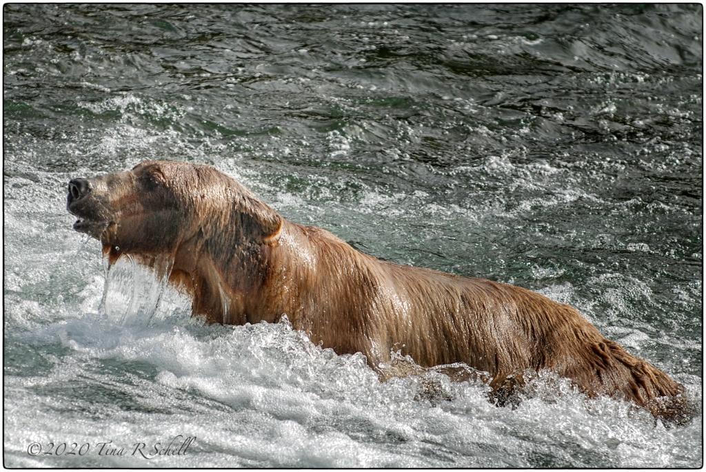 wet bear swimming
