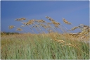 sea oats, blue sky, grass, kiawah island