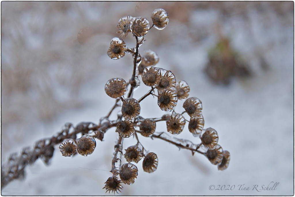 ICE-ENCASED FLOWER