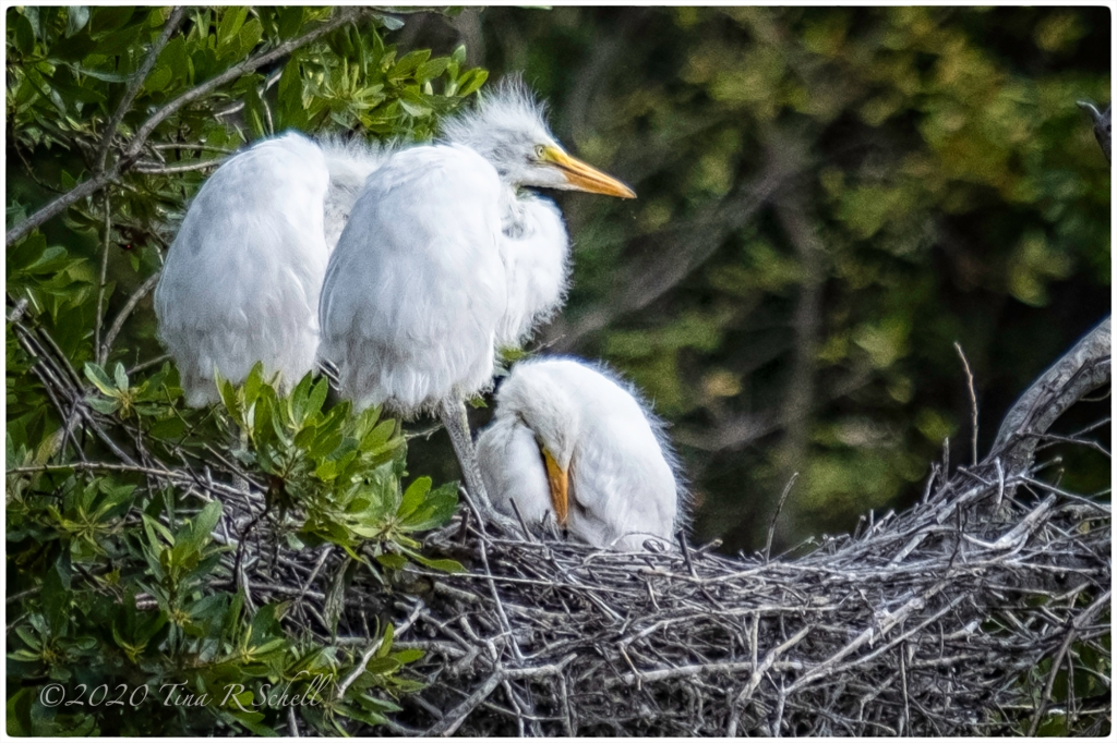 egret chicks, nest