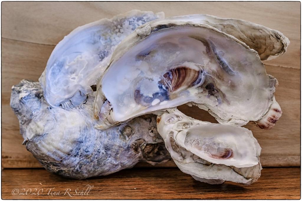 birdlike seashell