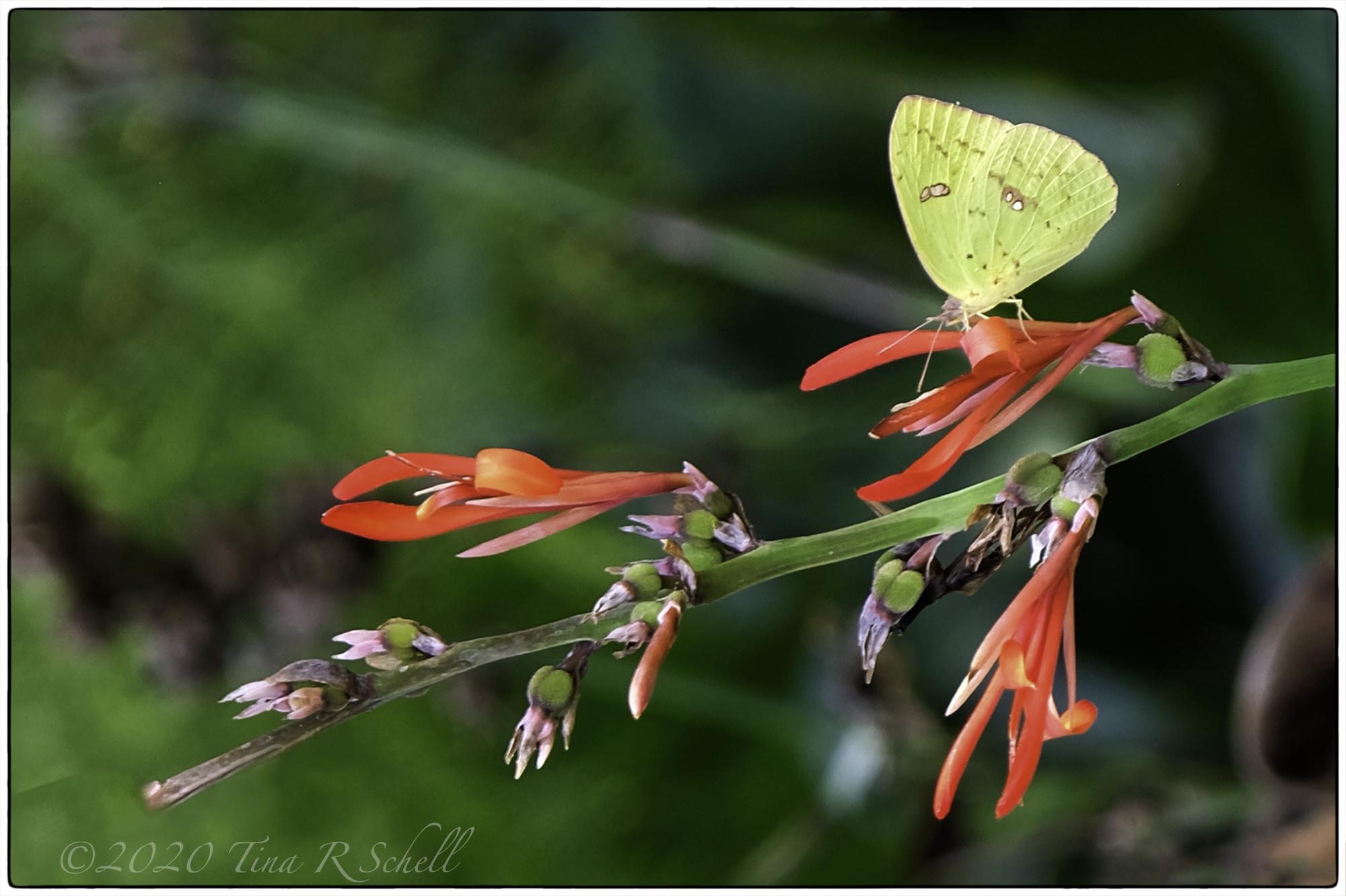 FRITTILARY, red flower