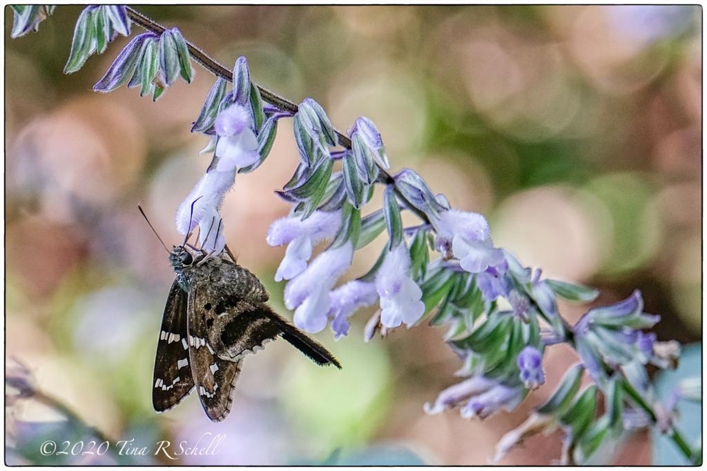moth, flower