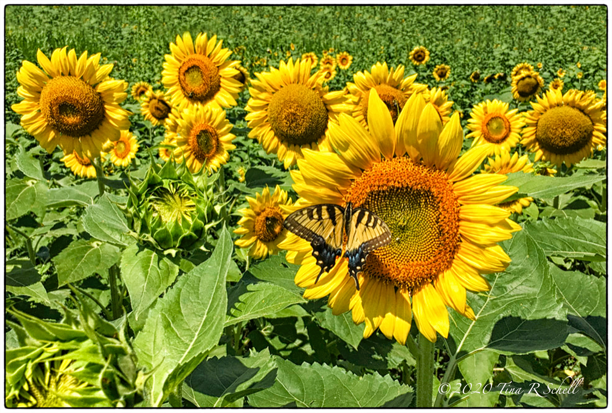 sunflowers, butterfly, yellow