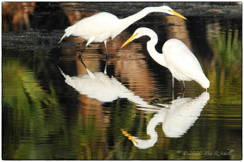 egrets, two, reflection, birds