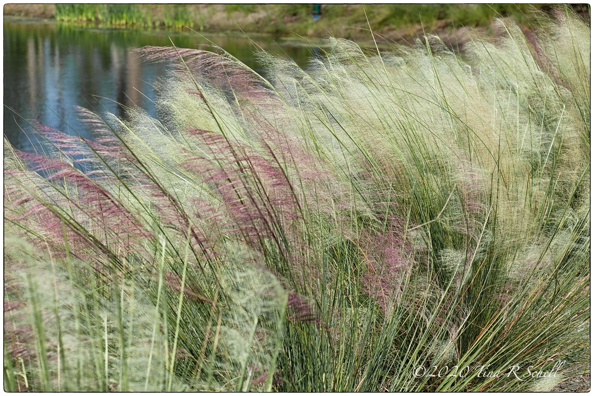 early sweetgrass