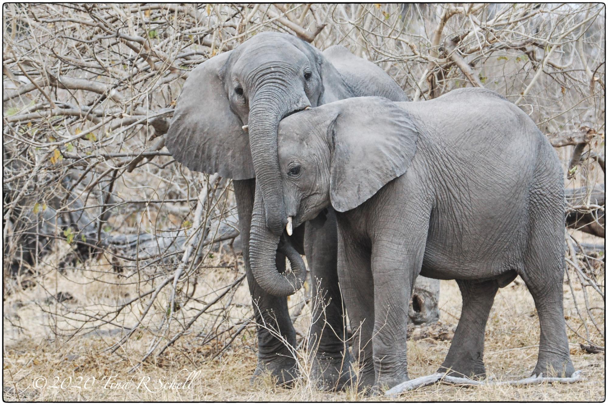 2 elephants embrace