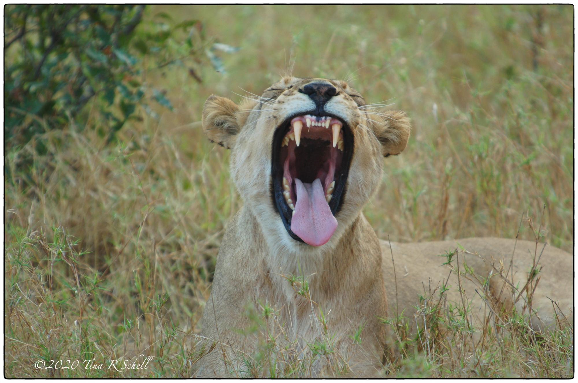 lion, yawning, teeth, tongue