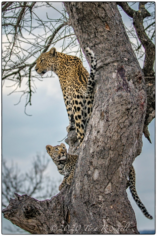 LEOPARDS, CUB, AFRICA