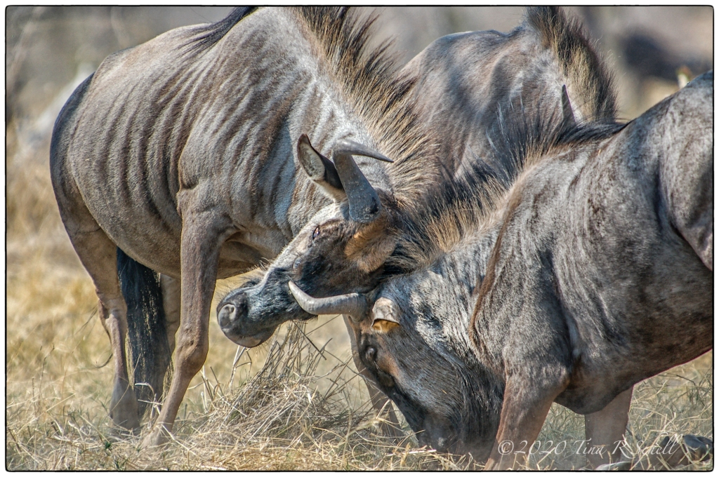 WILDEBEEST, FIGHT, WILD, AFRICA