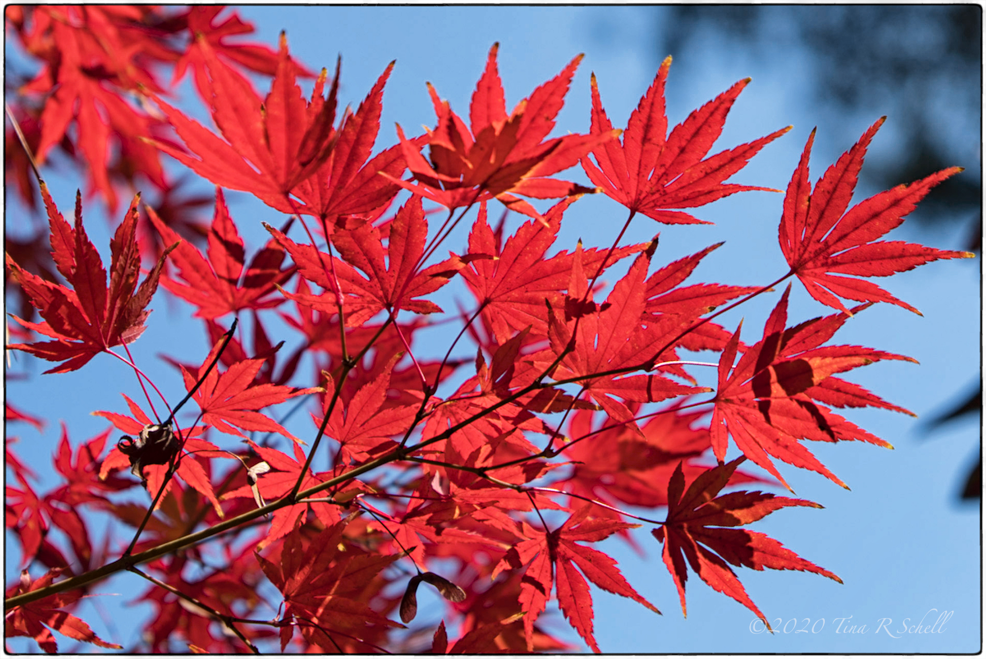 red leaves, blue sky