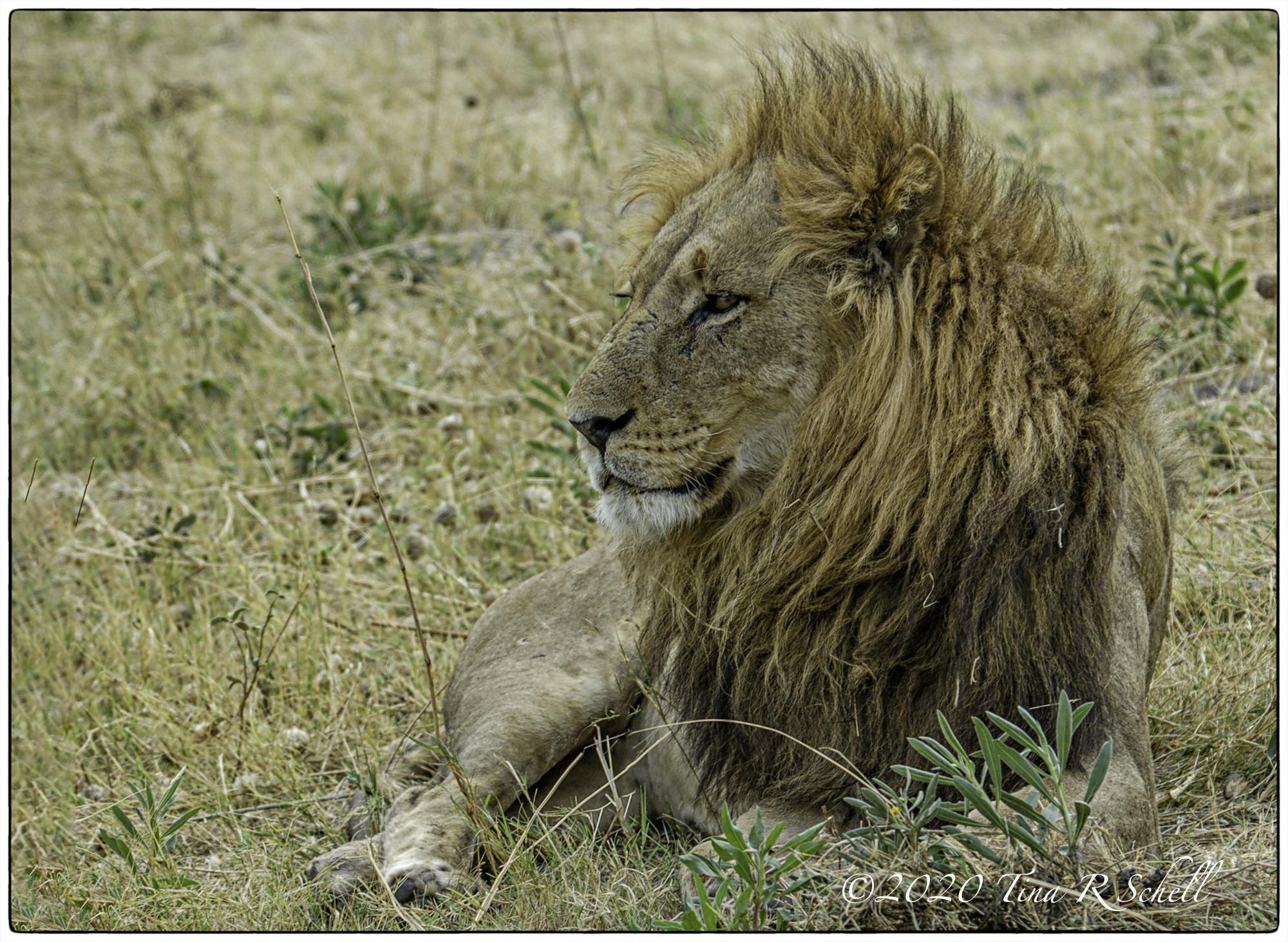 Lion, mane