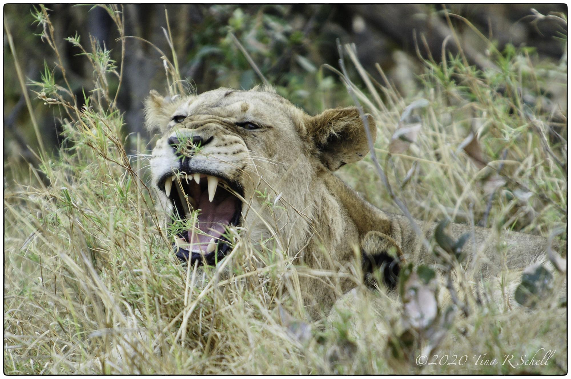 LION CUB, GROWLING